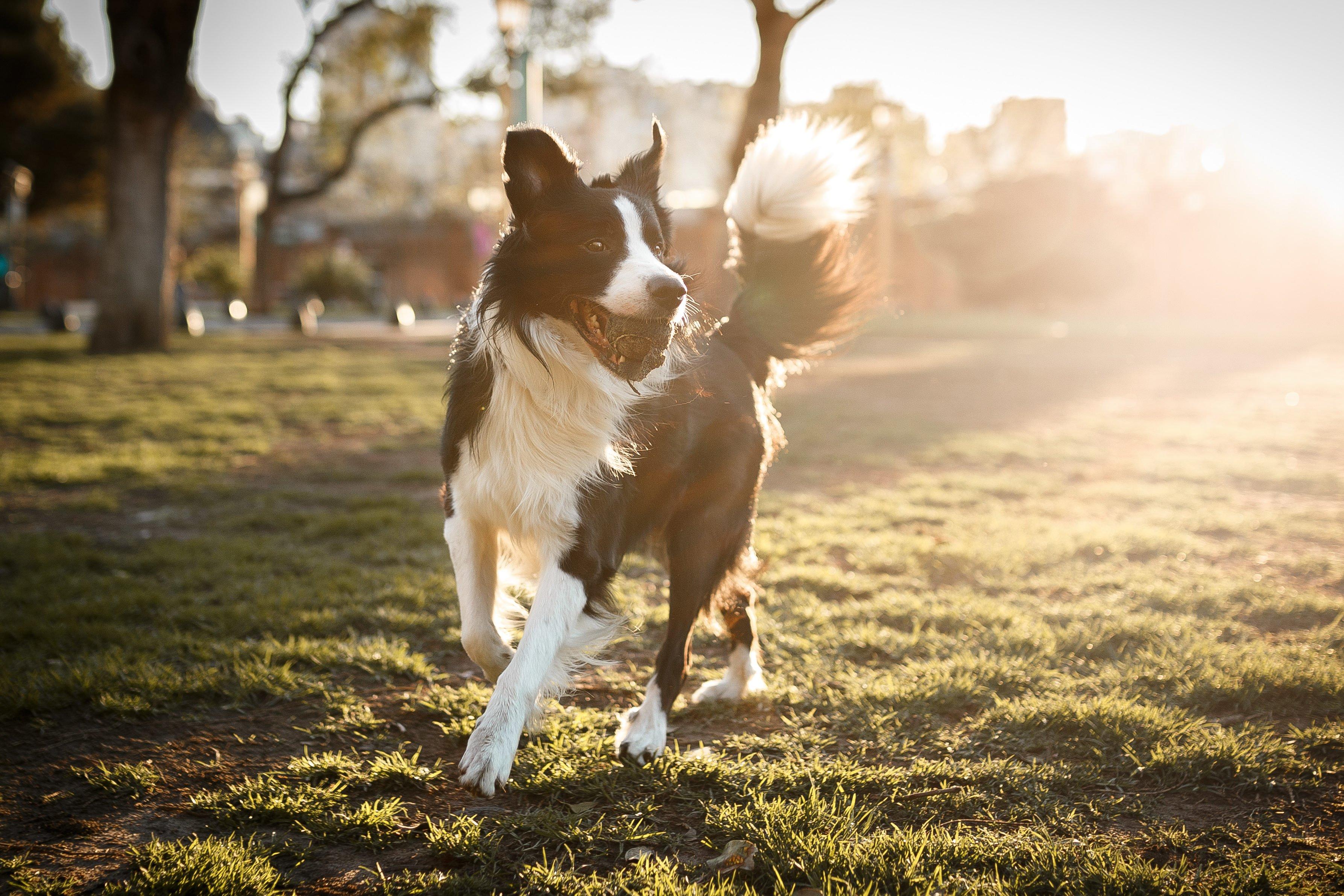 最容易训练的五大犬种,想要听话的狗狗,可以选择这五大品种