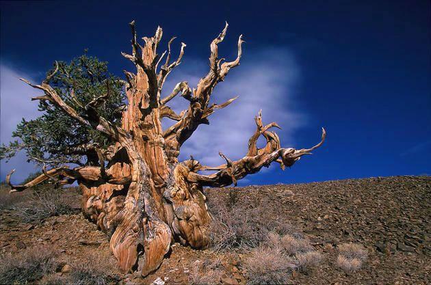 地球上已知最古老的十大树木